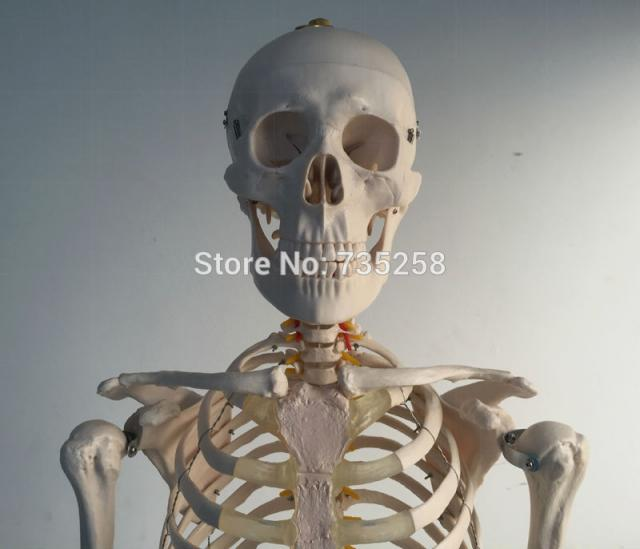 human skeleton model|skeleton model|model model human skeletons