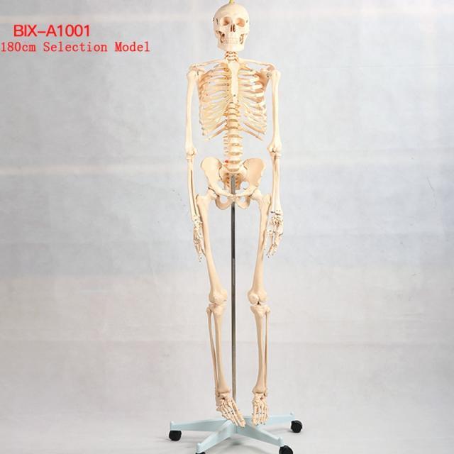 human skeleton anatomical model|anatomical model|anatomical skeleton model