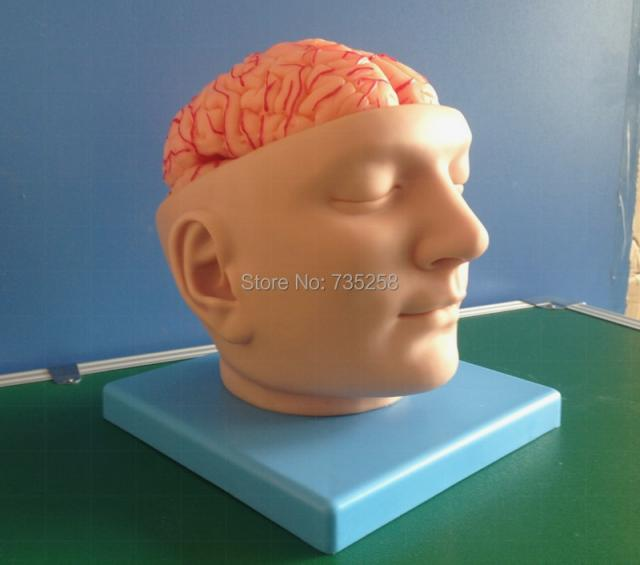 artery model|anatomical model|anatomical brain model