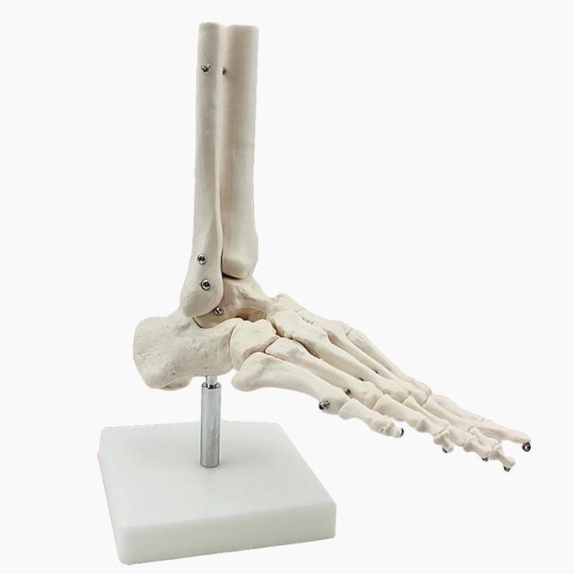 skeleton model human|human skeleton modelskeleton model