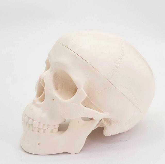 anatomy head|medical modelhuman anatomical