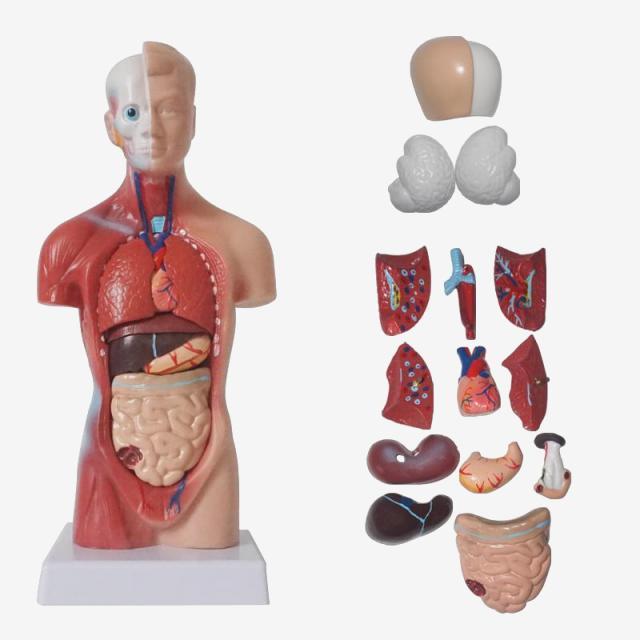 human torso model|anatomy torsohuman torso