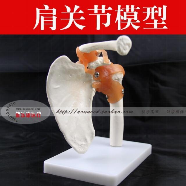 muscle model|muscle skeletonmuscle human