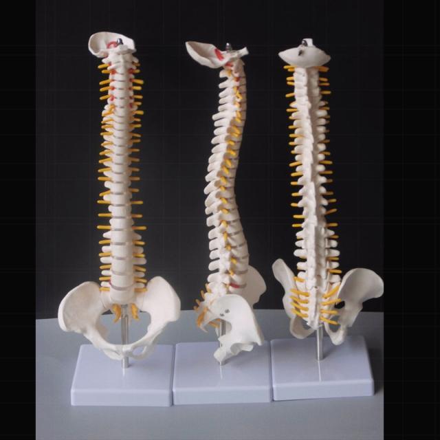 spine medical|human spinespinal column model